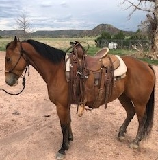 Properly handled AQHA Quarter Horse Gelding