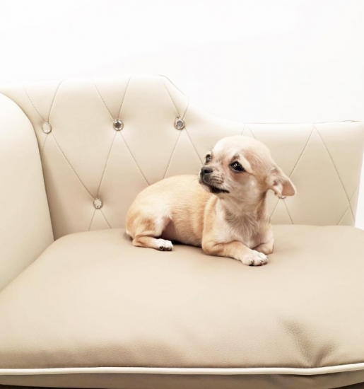 New York Shih Tzu Puppies for Sale : Pets and Animals in New
