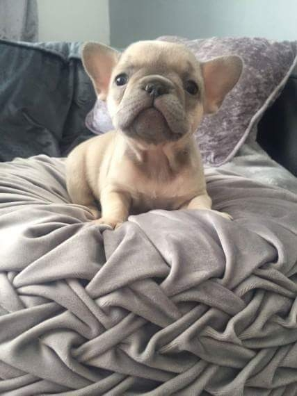 New York French Bulldog For Adoption : Pets and Animals in